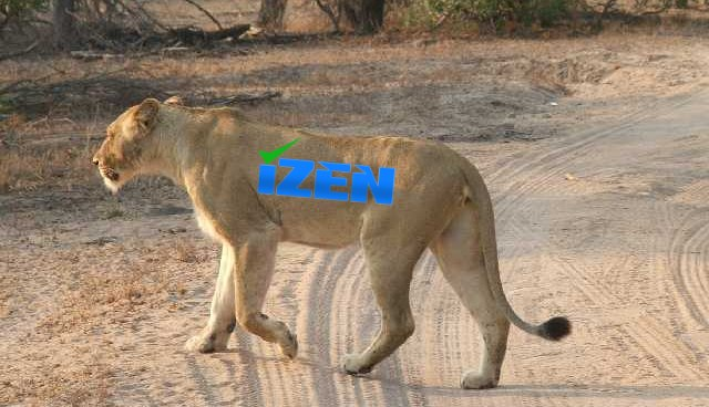 iZen Lion
